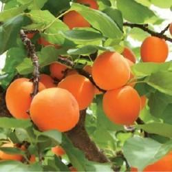 HUILE VEGETALE de noyau d'abricot