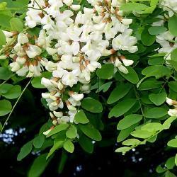GELULES  d 'Acacia BIO 180 mg