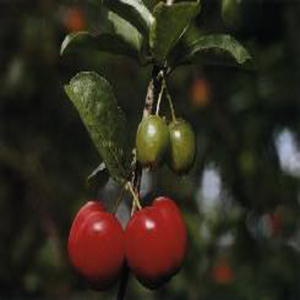 Acerola 2