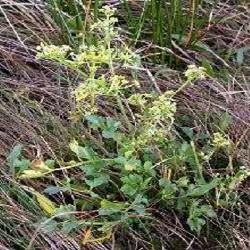 Poudre de Plante médicinale de Cèleri (feuille), Apium graveolens