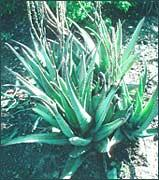 Aloes 1