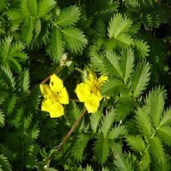 Gélules d' Anserine potentille (plante) BIO 220 mg