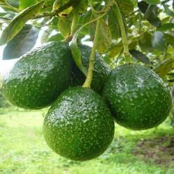 HUILE VÉGÉTALE d'Avocat raffiné