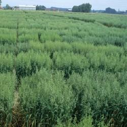 Gélules d'Avoine (plante) BIO 200 mg