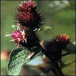 Poudre de Plante médicinale de Bardane (racine), Arctium lappa