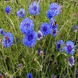 Gélules de Bleuet 180 mg