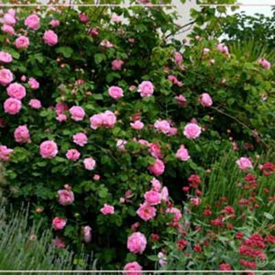 HUILE ESSENTIELLE de Bois de rose BIO