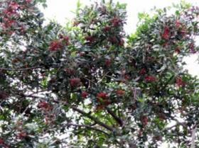 Poudre de Plante médicinale de Baie rose (fruit), Rosa