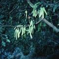 Poudre de Plante médicinale de Caroube (fruit), Ceratonia siliqua