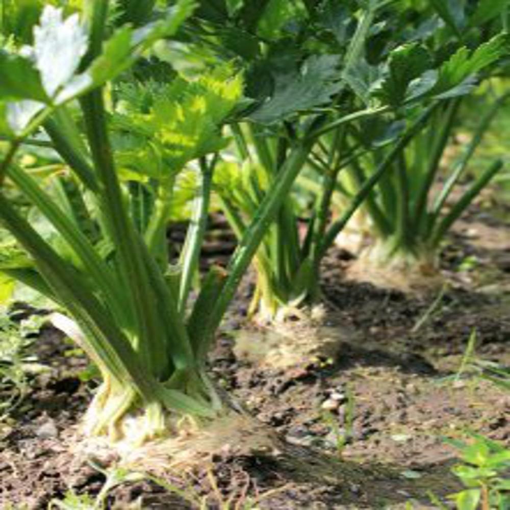 Celeri2 2