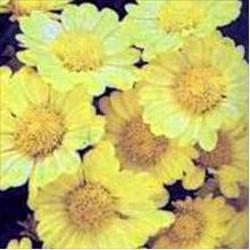 GÉLULES de Chrysantellum américanum BIO 250 mg