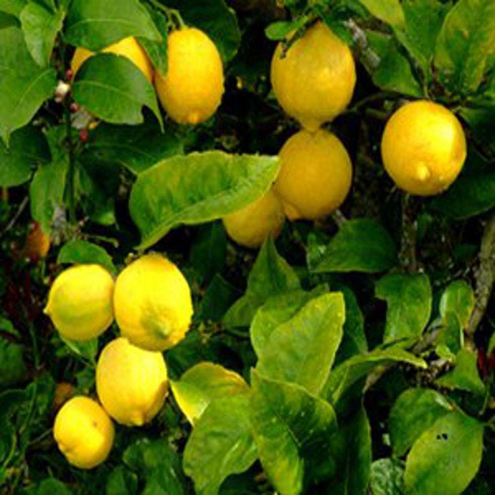 Citronnier 1