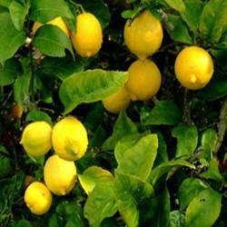 GÉLULES de Citronnier