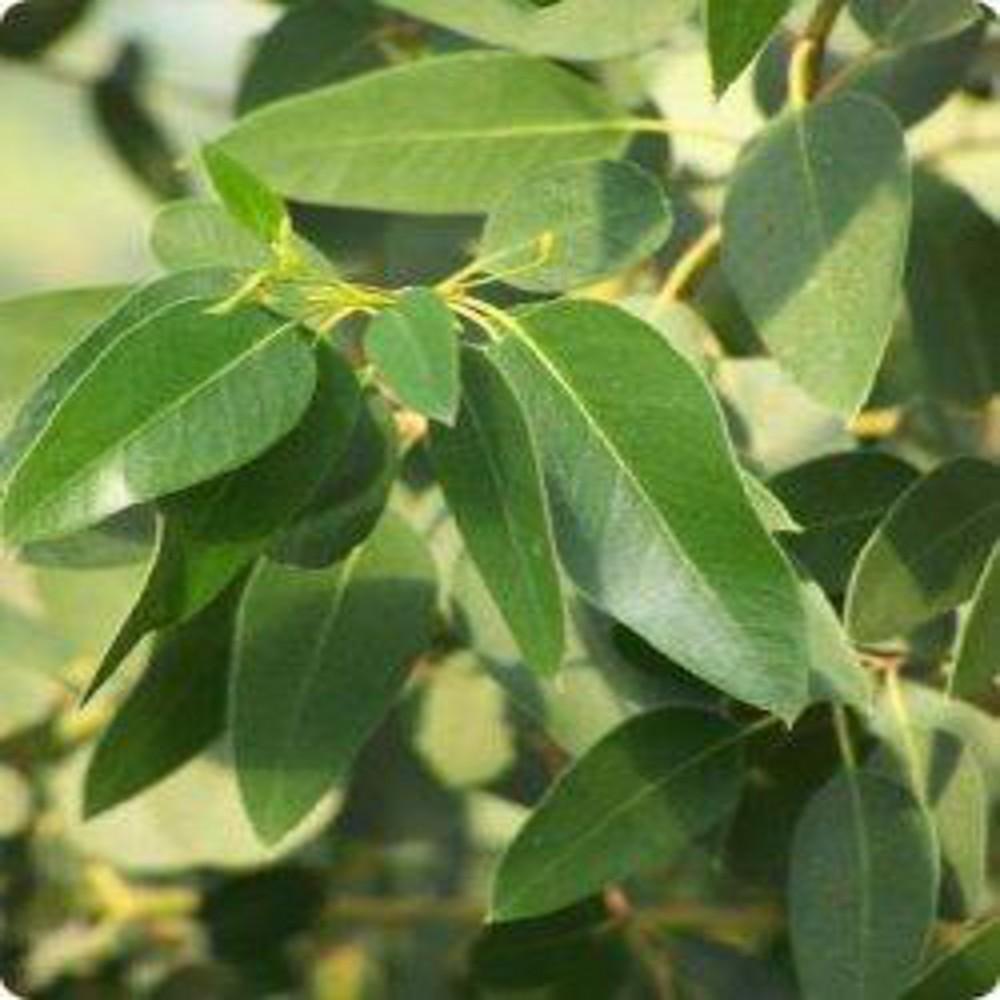 Eucalyptus c 1