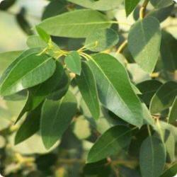Eucalyptus c 2