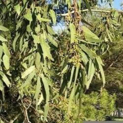 HUILE ESSENTIELLE d'Eucalyptus globulus BIO