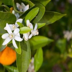 ELIXIR FLORAL de Fleur d'oranger BIO 100 ml