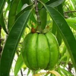 Garcinia cambogia 1