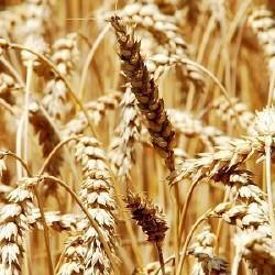 GÉLULES de Germe de blé BIO 300 mg