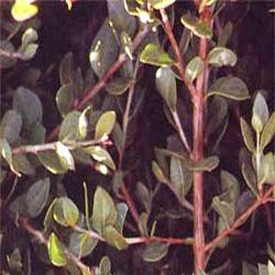 Gélules d'Henné 240 mg