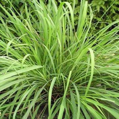 HUILE ESSENTIELLE de Lemon-grass