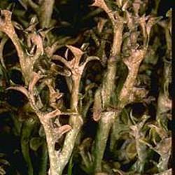 Gélules de Lichen d'Islande (thalle) BIO 290 mg