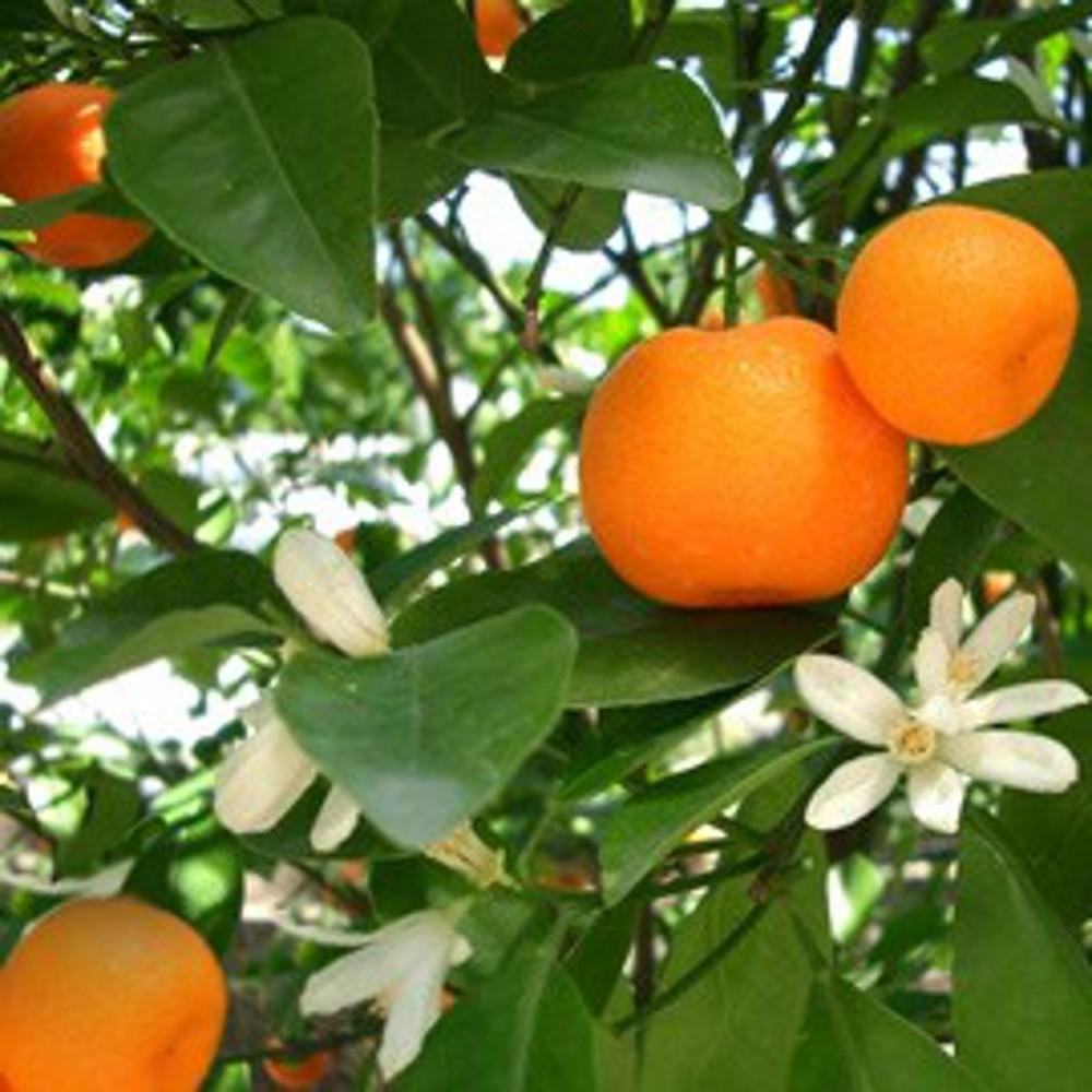 Mandarine j 1