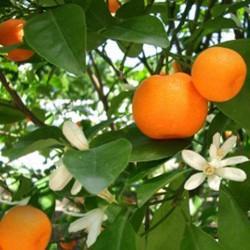 HUILE ESSENTIELLE de Mandarine jaune BIO