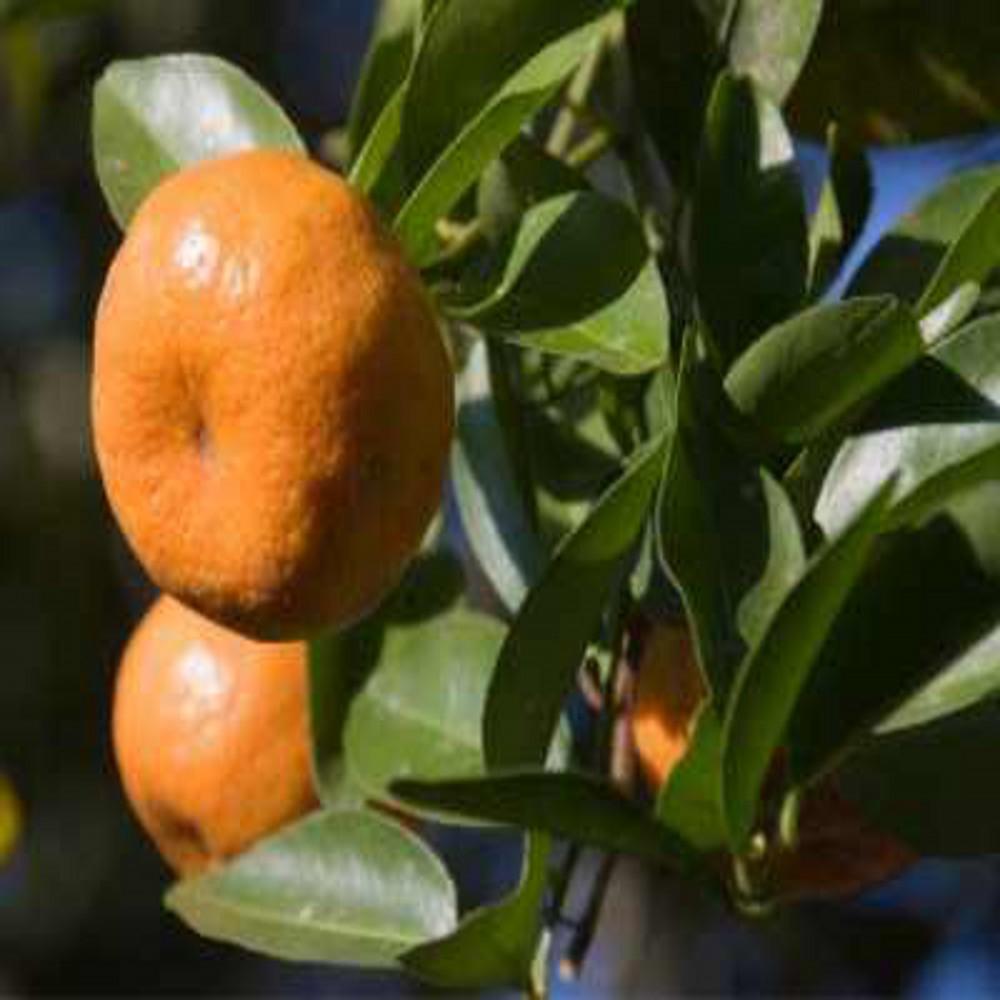 Mandarine rouge 2