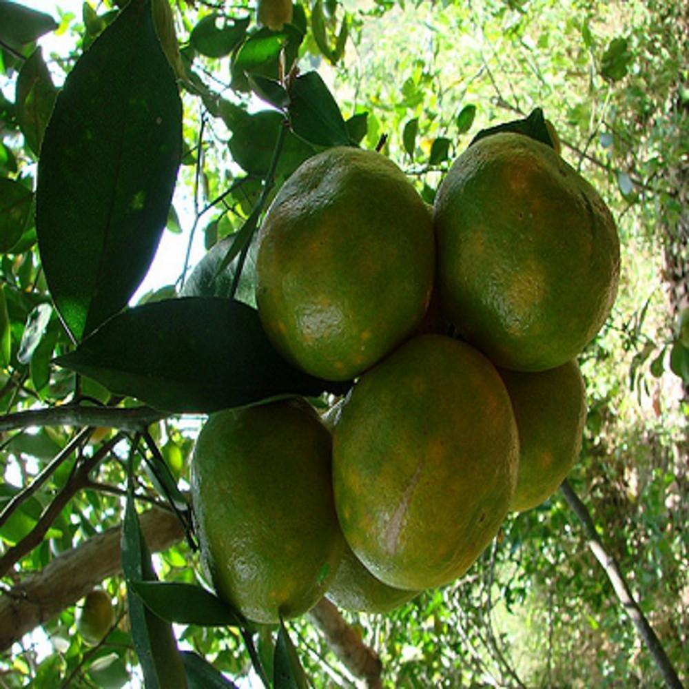Mandarine vert 1