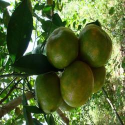 Mandarine vert 2