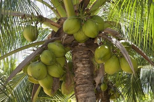 Noix de coco vierge