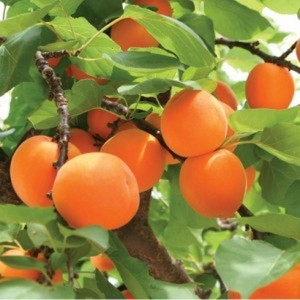 Noyau d abricot