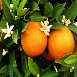 HUILE ESSENTIELLE d'Orange amère BIO