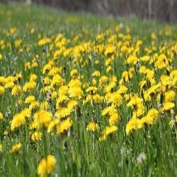 Gélules de Pissenlit fleur