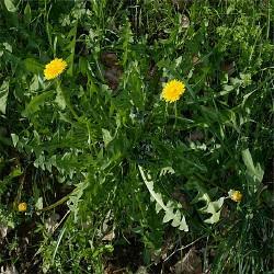 Gélules de Pissenlit feuilles 250 mg