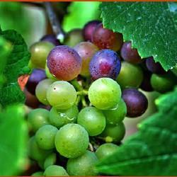 HUILE VÉGÉTALE de pépin de raisin