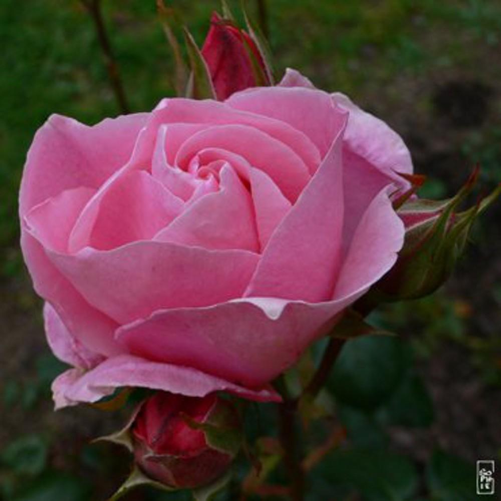 Roses1 4