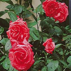 Gélules de Rose