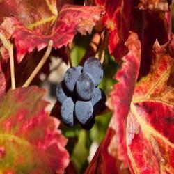GÉLULES de Vigne rouge 250 mg