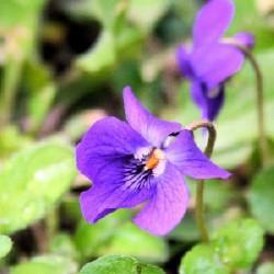 ÉLIXIR FLORAL de Violettes BIO 100 ml