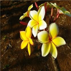 ÉLIXIR FLORAL de Ylang Ylang BIO 100 ml